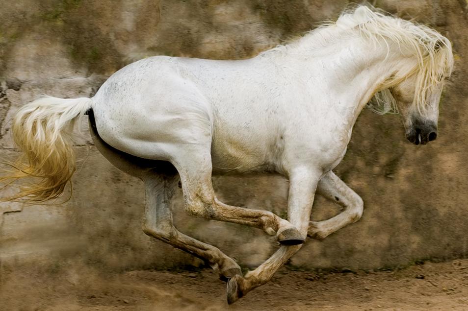 White Stallion, Mexico 2004 Arthur Meyerson