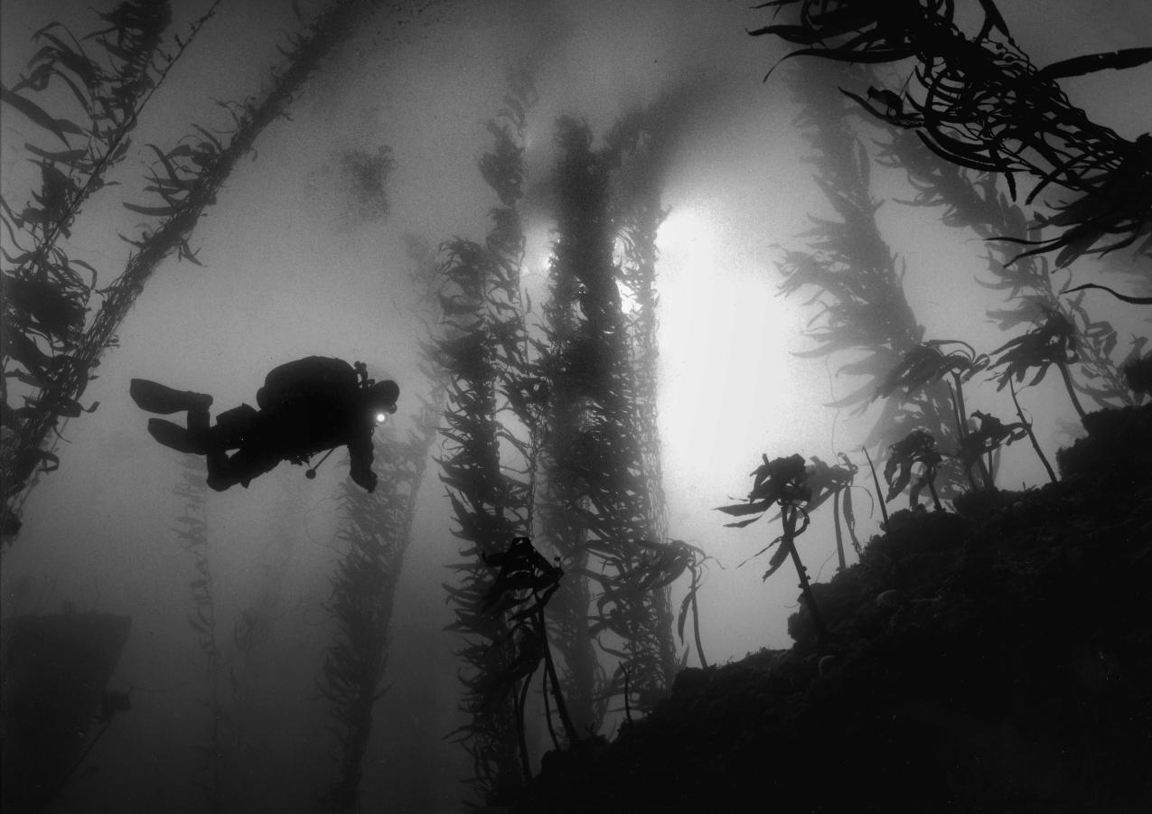 Phil Descending, Outer Pinnacles Reef, Carmel Bay © Chuck Davis