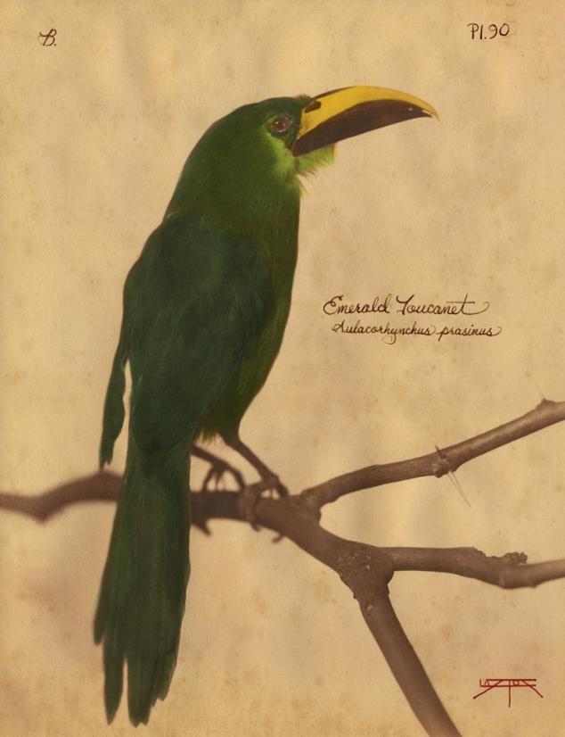 Emerald Toucanet © Laszlo Layton