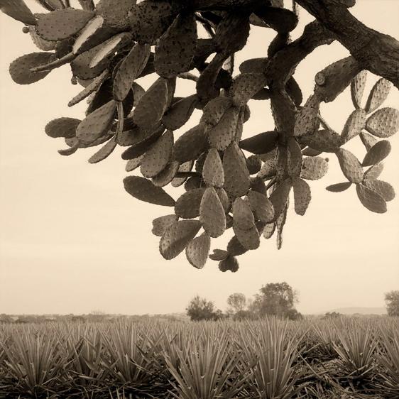 Nopalera © JoeL Salcido