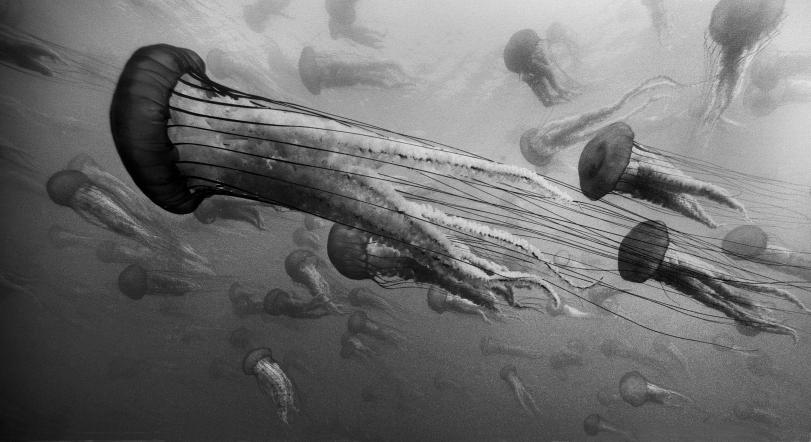 Sea Nettles #19 © Chuck Davis