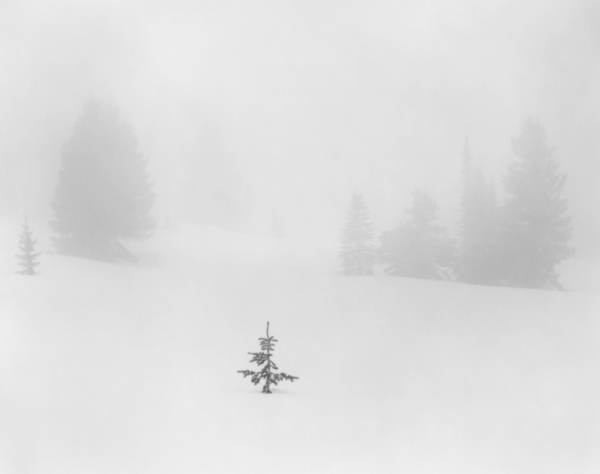 Sapling in Snow © Alan Ross