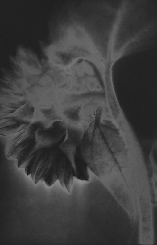 Pete's Sunflowers © Patricia Bender