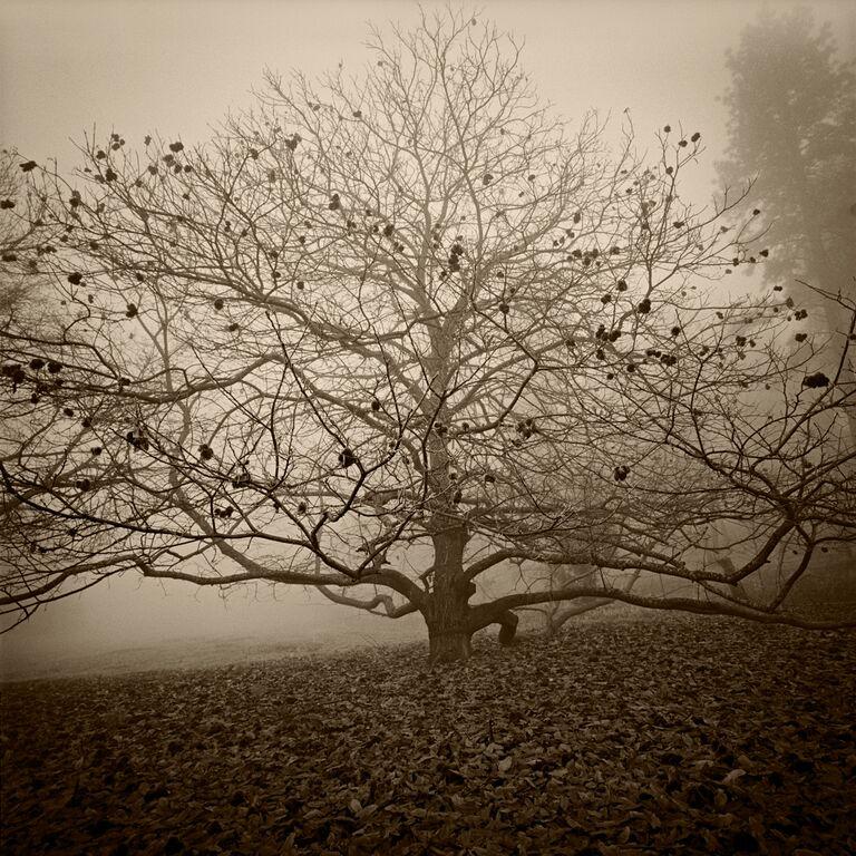 Persimmon Tree © Kerik Kouklis