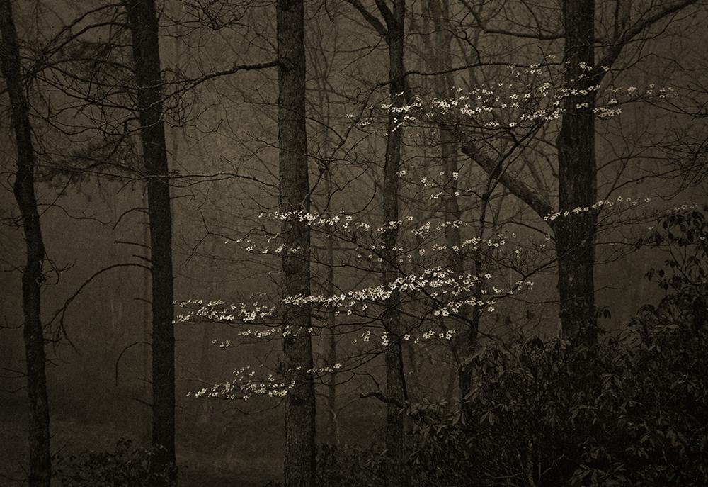 Dogwood In Rain © Mark Nelson Gravure