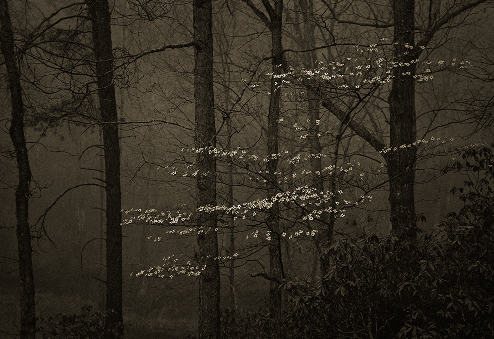 Dogwood In Rain © Mark Nelson Gravure