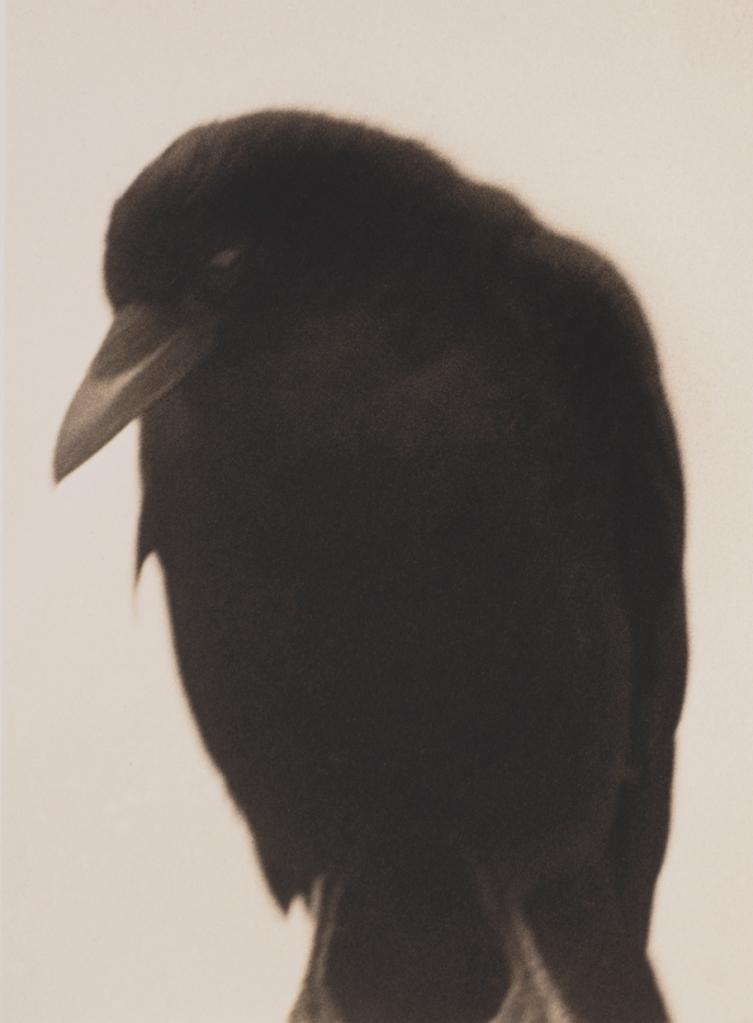 Crow 1 © Jane Olin